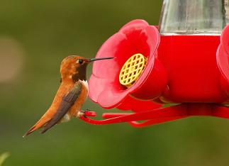 Comment faire le meilleur nectar à colibri maison! (2 ingrédients!)