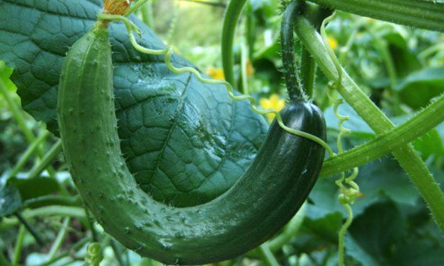 Les meilleures plants compagnons pour les concombres