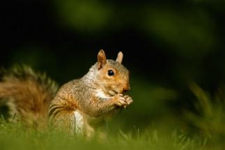 Le meilleur répulsif 100% naturel contre les écureuils!