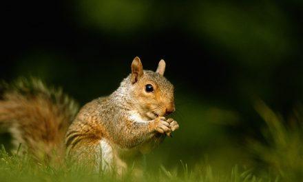 Répulsif 100% naturel contre les écureuils