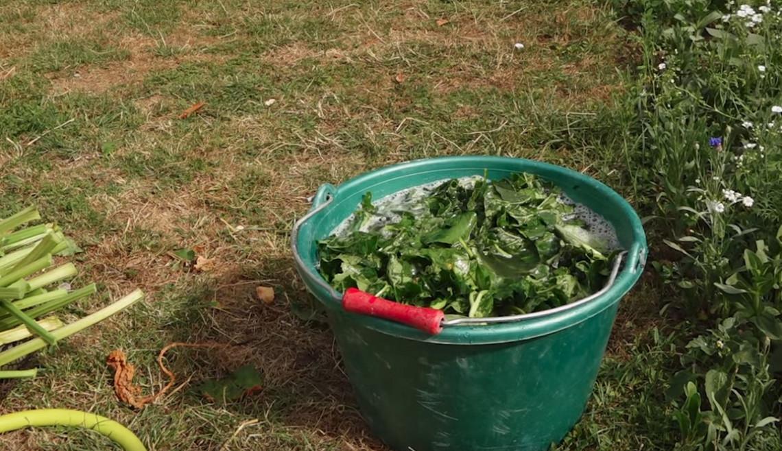 Le purin de rhubarbe pour éloigner les limaces du jardin!
