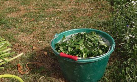 Le purin de rhubarbe pour éloigner les limaces du jardin