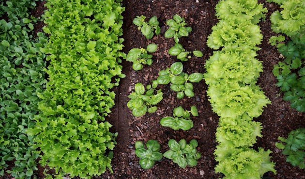 13 légumes qui aiment pousser à l'ombre dans le jardin