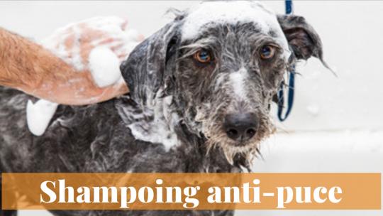 Shampooing anti-puce maison, parfait pour les animaux domestiques!