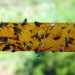 Fabriquez votre ruban attrape-mouches maison 100% naturel!