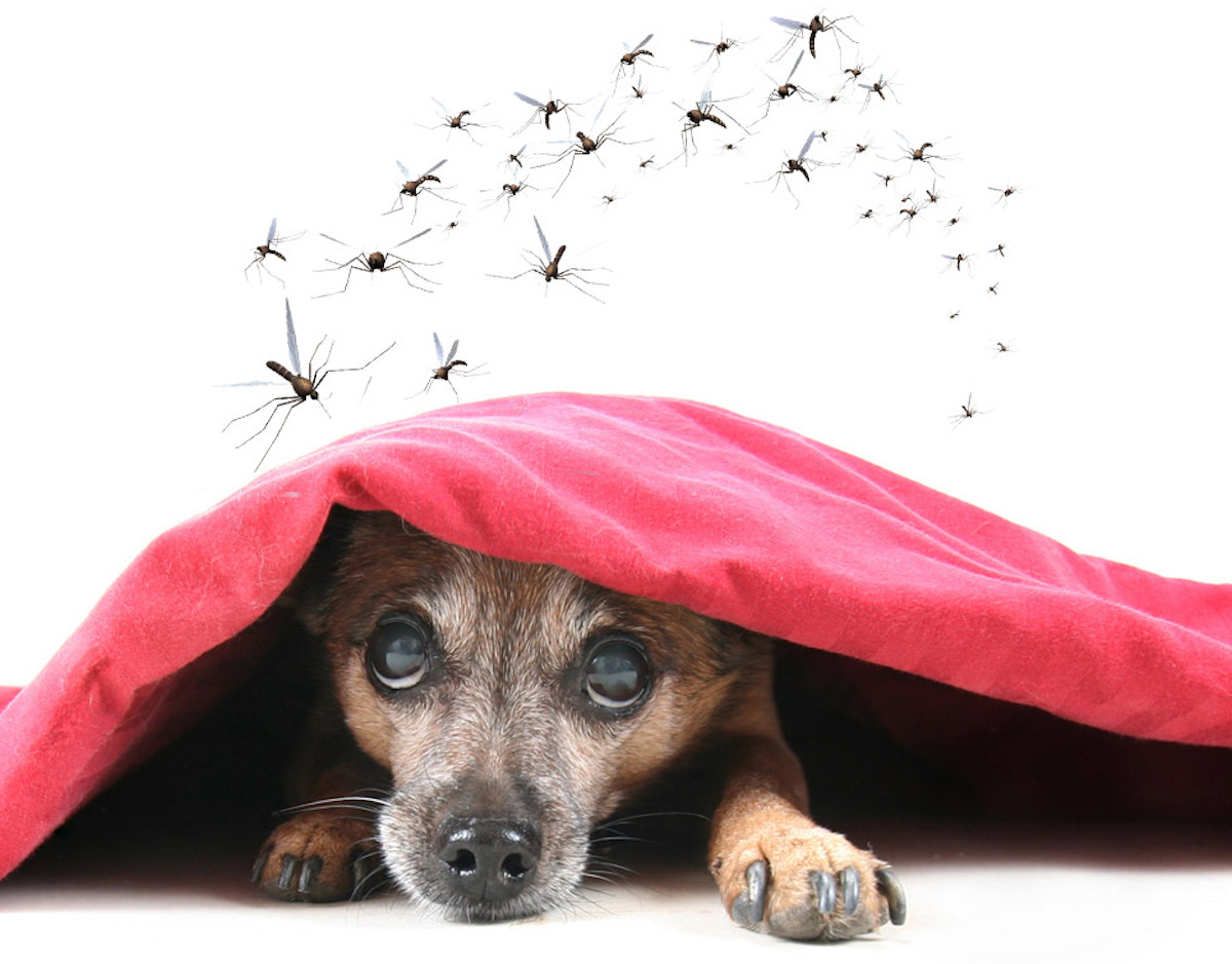 Truc facile pour faire un chasse-moustique maison pour vos chiens!