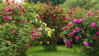 8 trucs faciles pour avoir de beaux rosiers en santé!