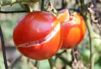 5 trucs pour éviter que la peau de vos tomates de jardin fende!