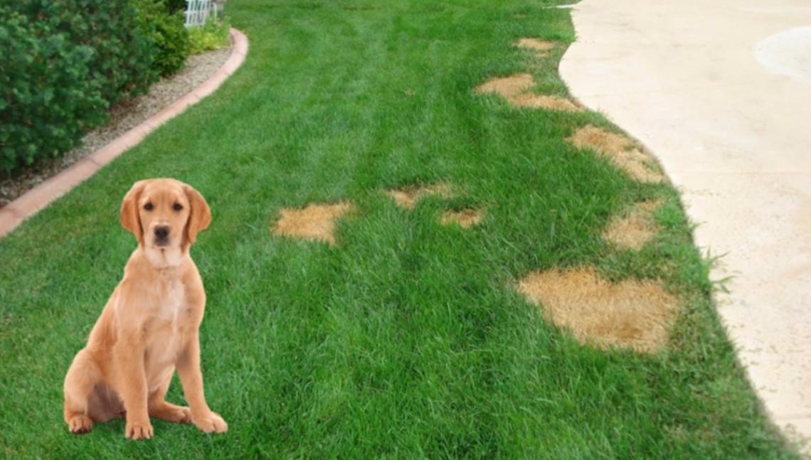 Redonnez vie à votre gazon meurtrit par l'urine de chien!