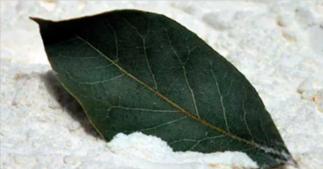 5 façons d'utiliser les feuilles de laurier pour leurs effets thérapeutiques!