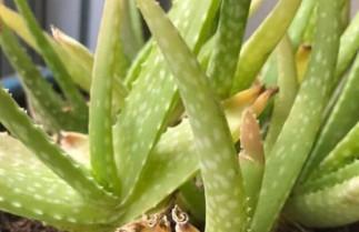 Ravivez un plant d'aloès vera mourant en 5 étapes faciles!