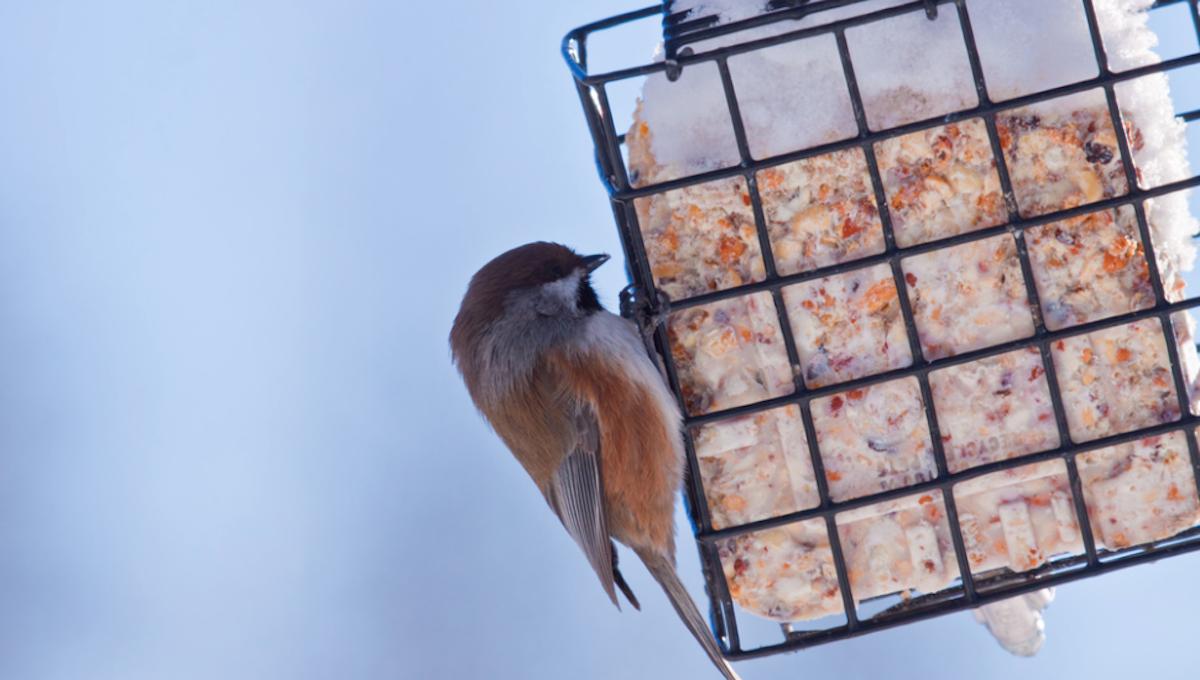 Recette de suif maison pour nourir les oiseaux (Facile à faire!)