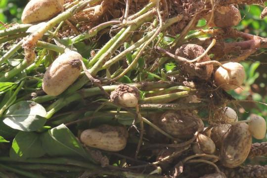 Faire pousser des arachides à la maison en 6 étapes faciles!