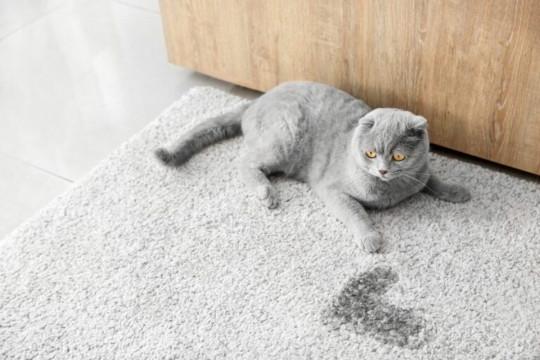Comment éliminer l'odeur d'urine de chat sur un tapis?